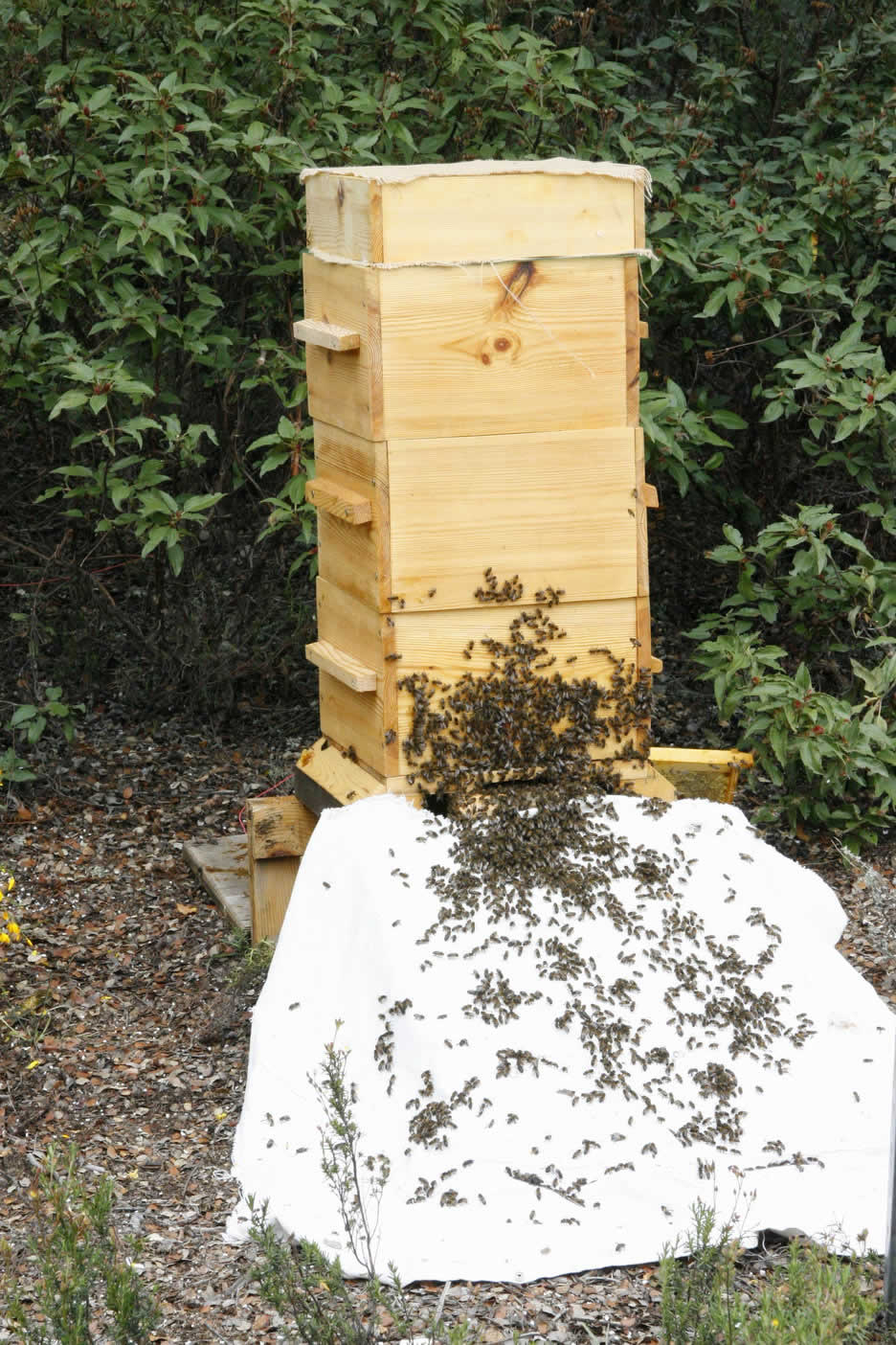 flypiedrahita a year with warre beehives